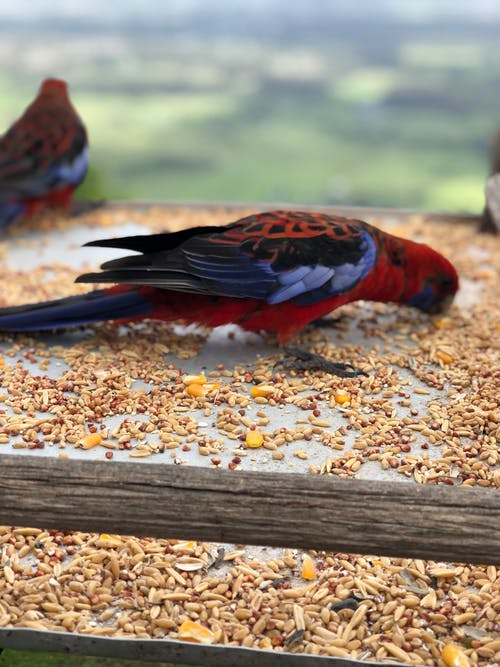 Free stock photo of crimson rosella