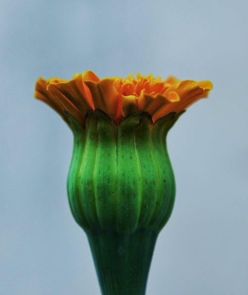 Fotos de stock gratuitas de flor, sakura
