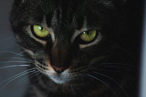 Základová fotografie zdarma na téma černá kočka, detailní záběr, domácí