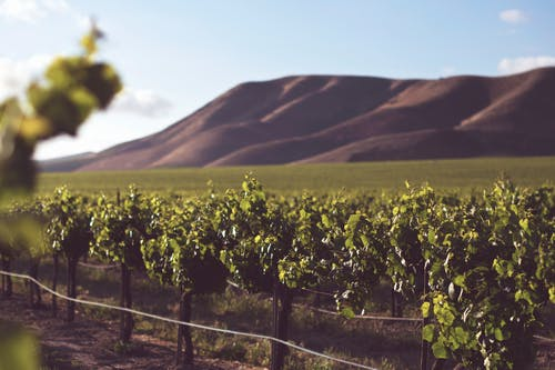 Бесплатное стоковое фото с вино, виноградная лоза, виноградник, винодельня