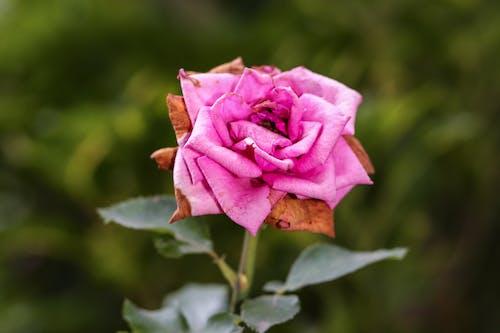 玫瑰, 瑪娃, 花 的 免費圖庫相片
