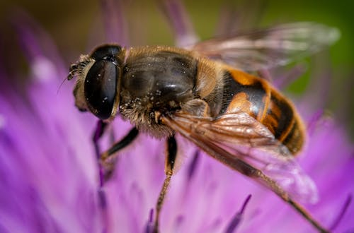 Macro Shot of a Black and Yellow Bee on a Purple Flower