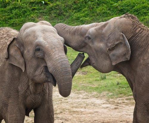 2 Gray Elephants on Green Grass Field