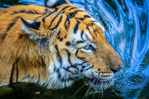 Close-Up Photo of a Black and Orange Tiger on the Water