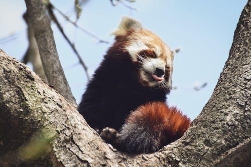 パンダ, 動物の写真, 動物公園の無料の写真素材