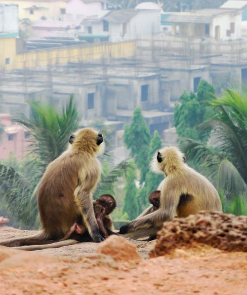 Four Monkeys Sitting on Soil Watching Houses and Palm Trees