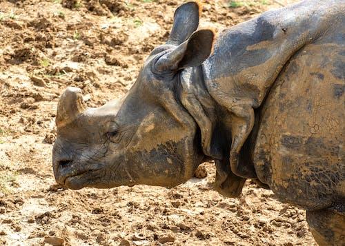 Бесплатное стоковое фото с дикая природа, животное, индийский носорог