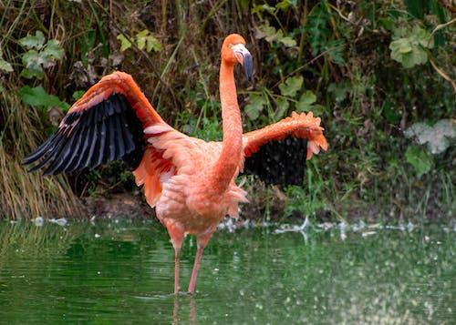 Бесплатное стоковое фото с фламинго