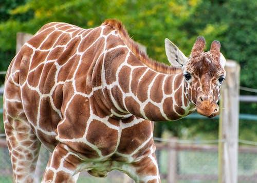 Бесплатное стоковое фото с жираф