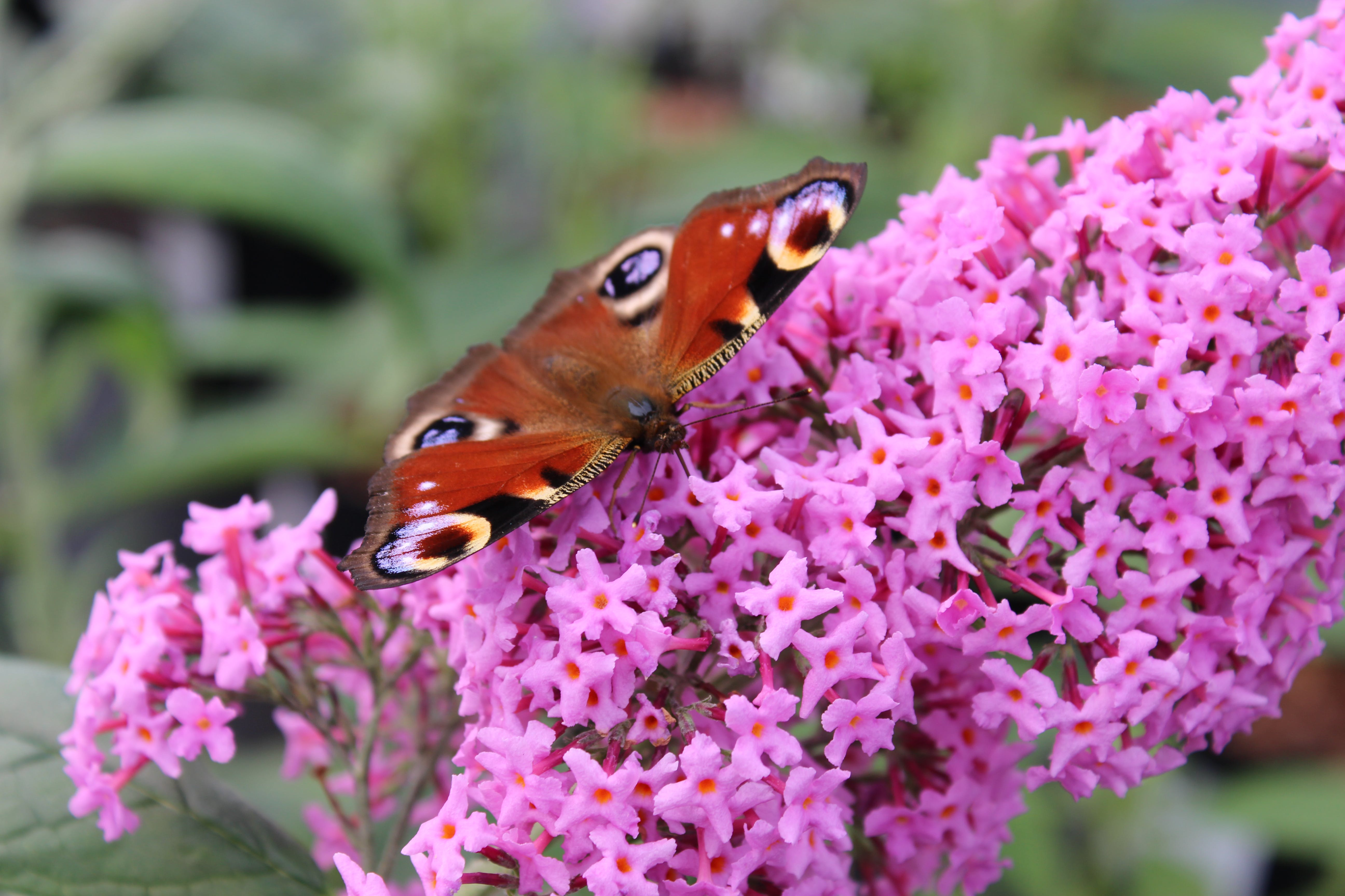 Free stock photo of beautiful, britain, butterfly, color