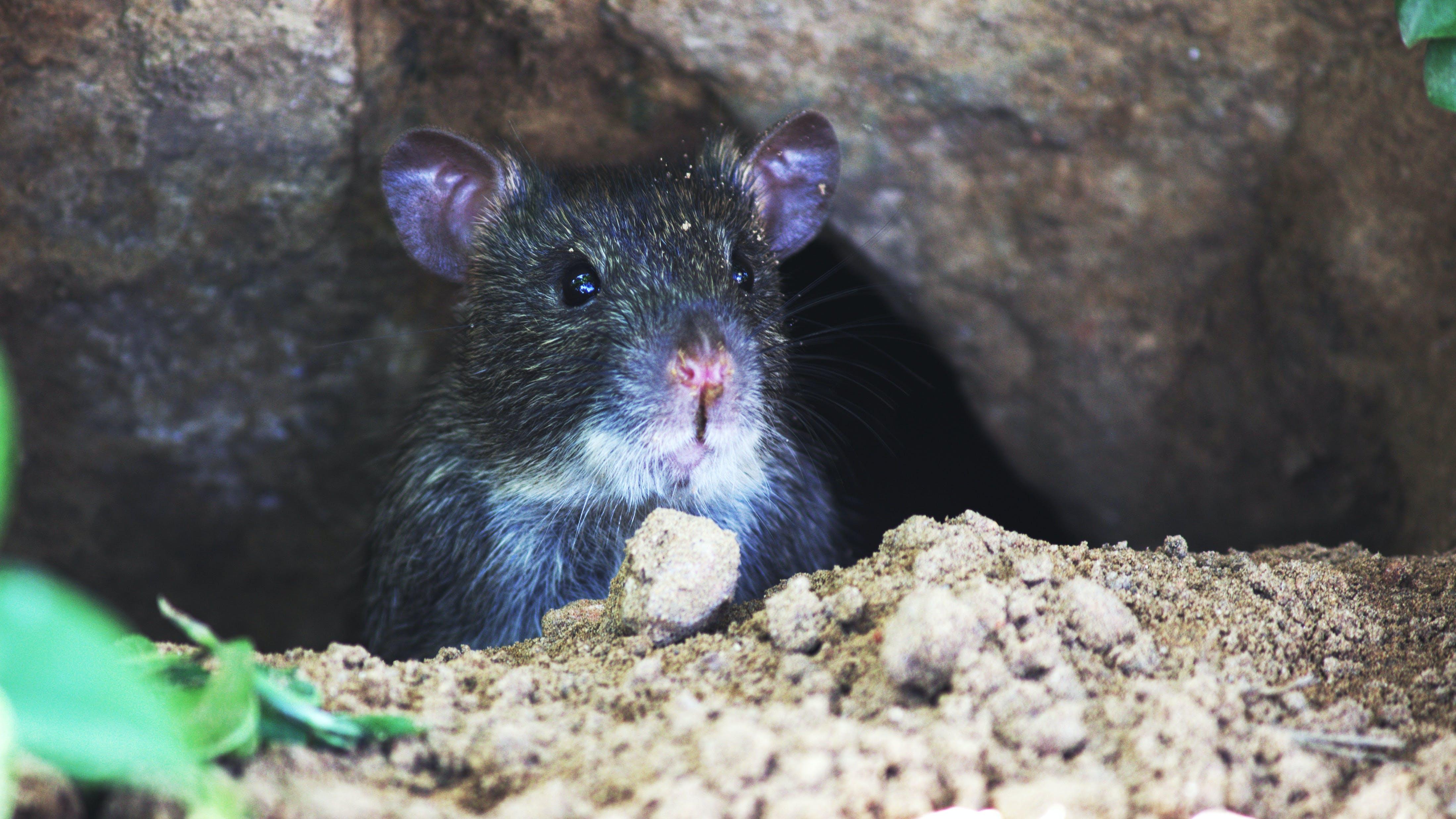 Gratis lagerfoto af dyr, dyrefotografering, gnaver, mus