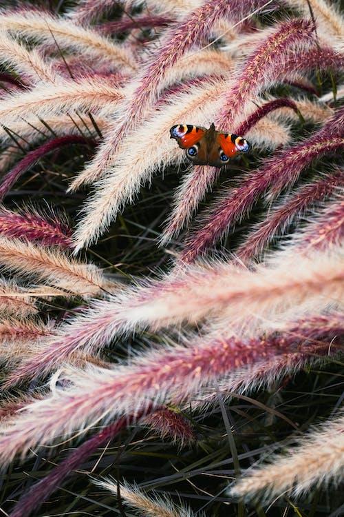Fotobanka sbezplatnými fotkami na tému motýľ, purpurová, traviny