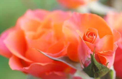 คลังภาพถ่ายฟรี ของ กลีบดอก, กำลังบาน, ธรรมชาติ, พฤกษา
