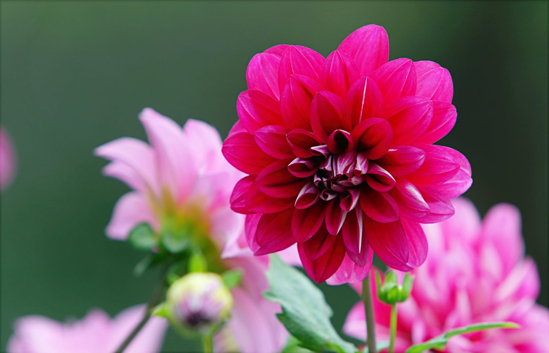 blomster, blomsterknopper, blomstrende