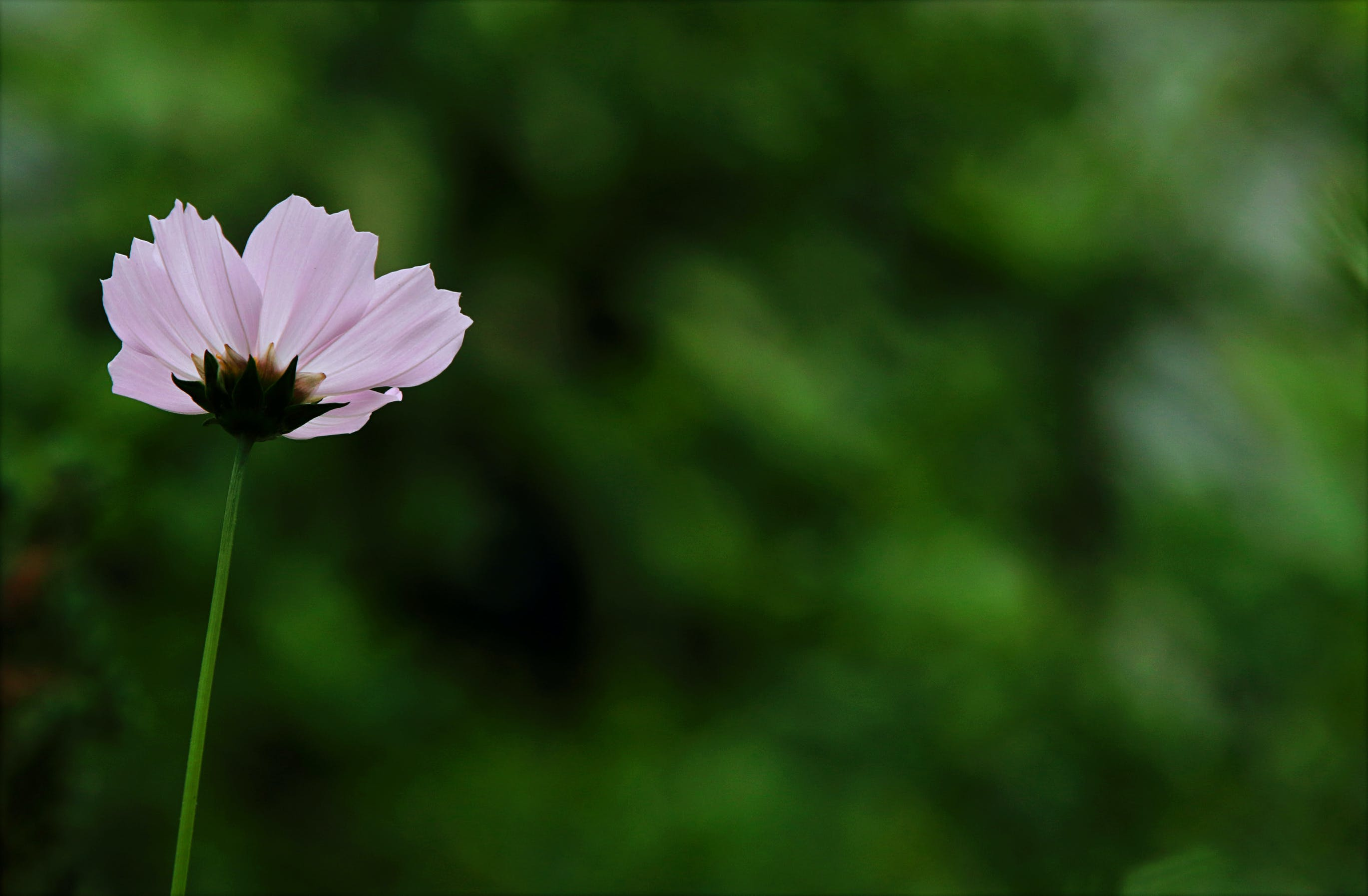 Close-up Photography of Pink Cosmos Flower