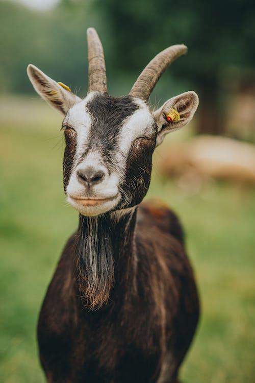 Free stock photo of animal head, close-up, domestic animals