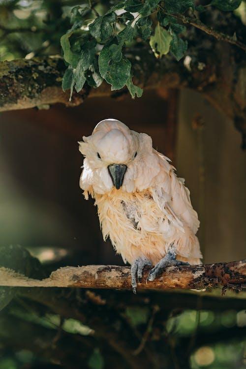Free stock photo of animal, bird, cockatoo