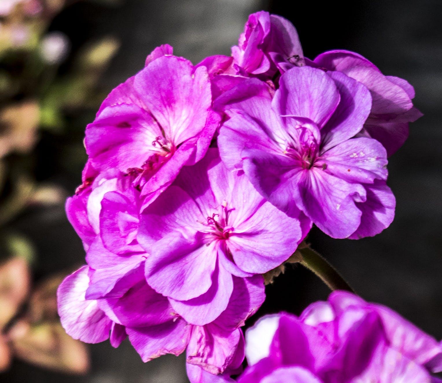 Free stock photo of beautiful, flower, pink