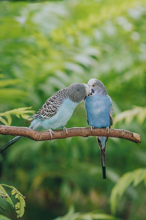 Sevgi Gösteren Muhabbet Kuşlarını öpmek