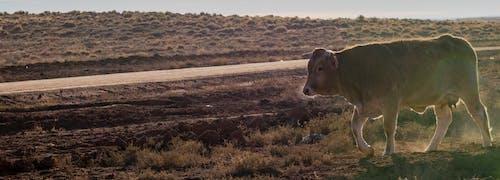 Free stock photo of animal, cow, mammal