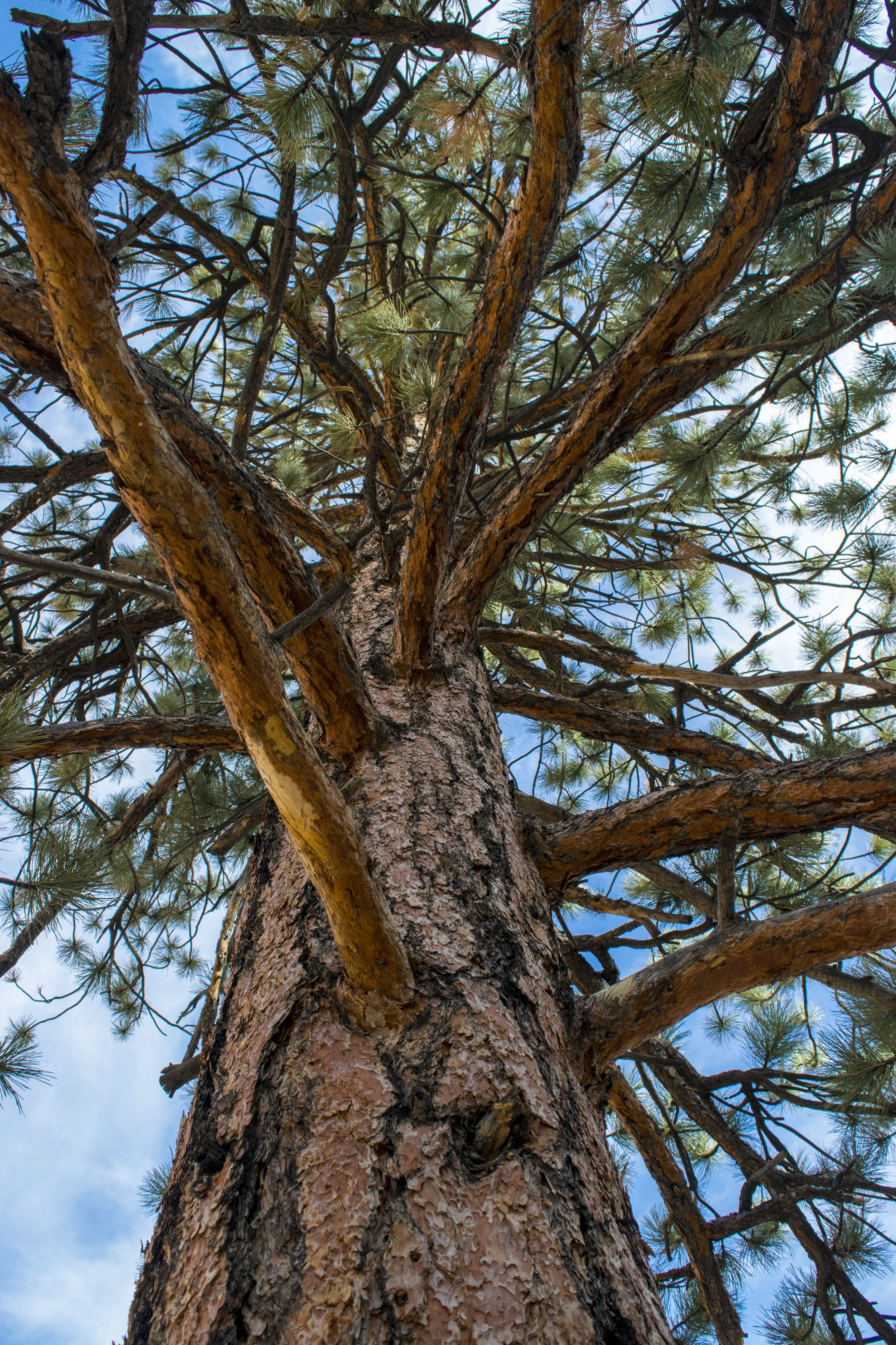 Free stock photo of outdoor, perspective, pine, tree