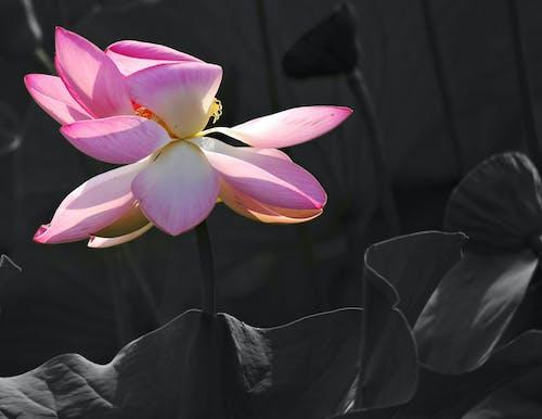 공원, 연꽃의 무료 스톡 사진