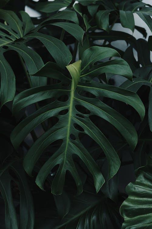 Green Foliage of the Monstera Deliciosa