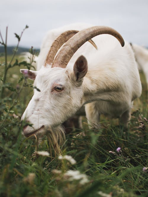 Close-Up Photo of a White Goat with Long Horns