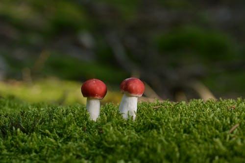 Darmowe zdjęcie z galerii z amanita muscaria, grzyb, grzyby