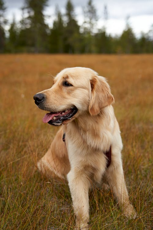 Close-Up Photo of an Adorable Golden Retriever on the Grass