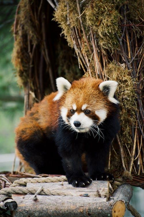 Red Panda on Brown Tree Branch