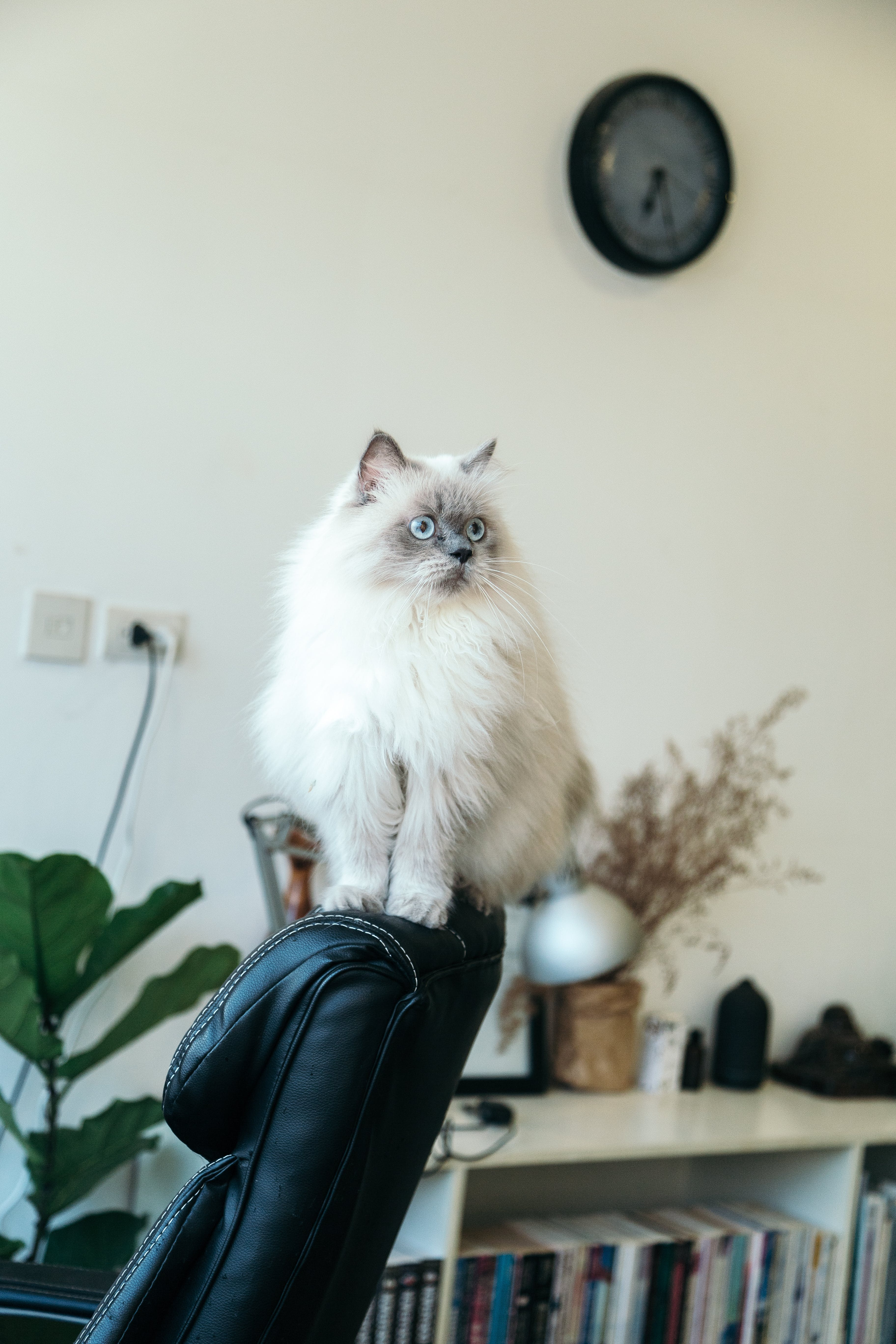 White Cat Sitting on Black Leather Chair