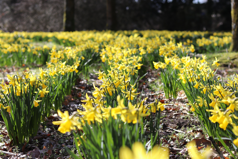 Yellopw Daffodil Flower Field at Daytime