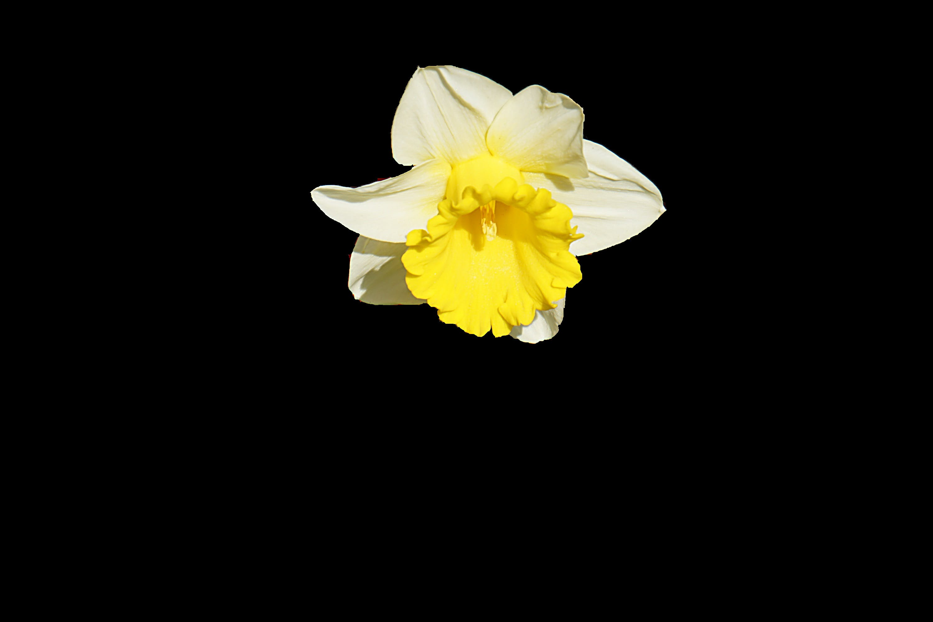 Yellow and White Petaled Flower