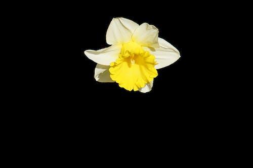 Immagine gratuita di bocciolo, fiore, flora, jonquille