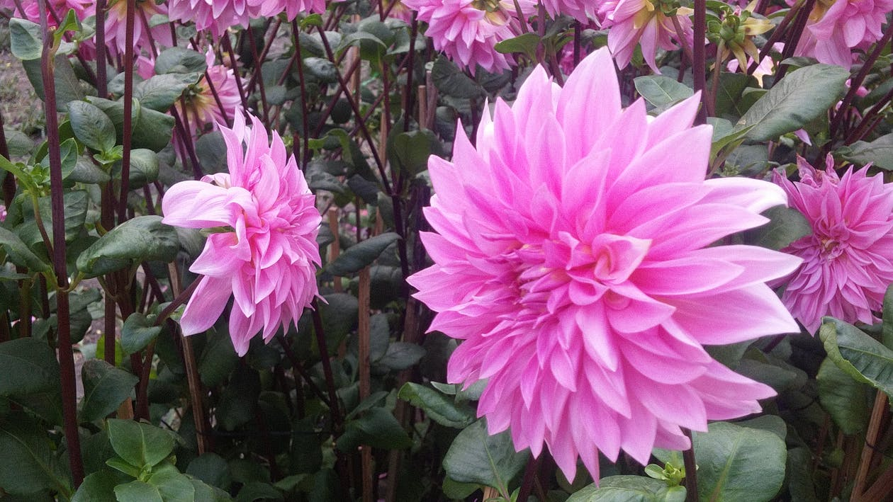 jiřiny, krásné květiny, květina dahlia