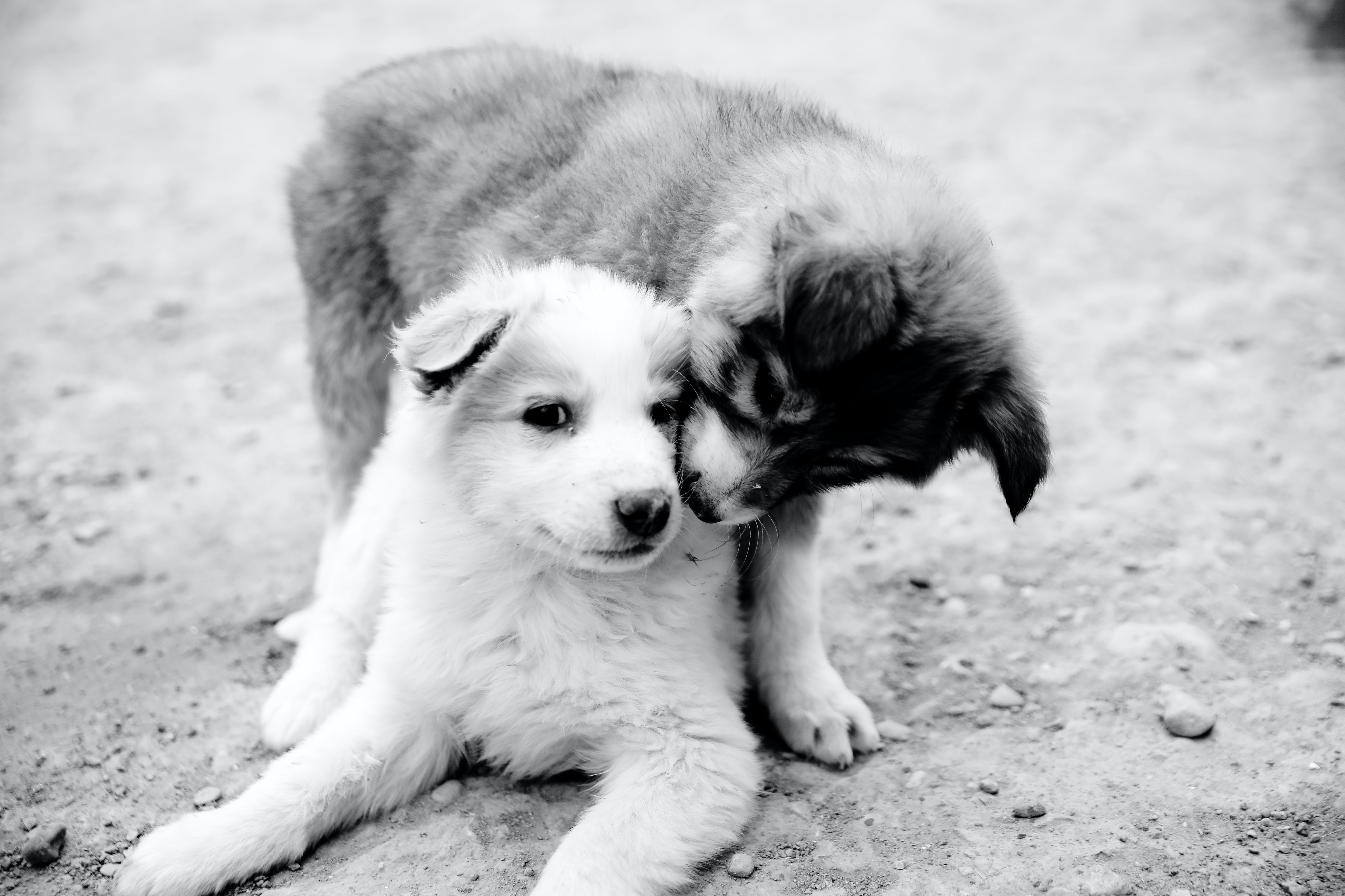 Grayscale Photography of Two Puppies