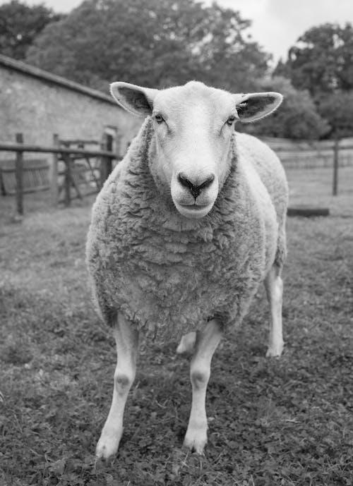 Immagine gratuita di agriturismo, animale, azienda agricola