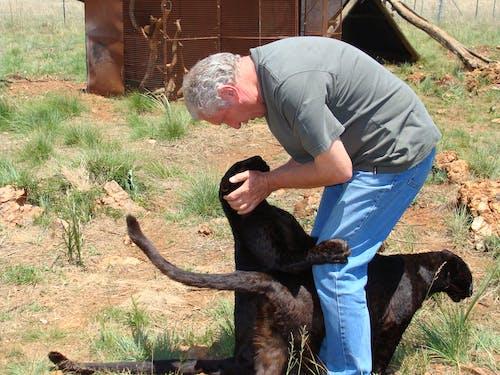 Foto d'estoc gratuïta de depredador de gats grans de lleopard negre