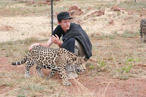 Foto d'estoc gratuïta de depredador de gats grans de jaguar