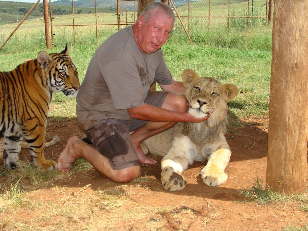lvi tygri veľké mačky