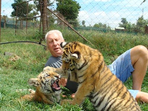 Foto d'estoc gratuïta de tiger cubs
