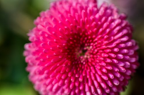 Macro Photography of Pink Aster Flower