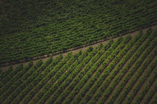 Δωρεάν στοκ φωτογραφιών με αγρόκτημα, αμπέλι, άμπελος