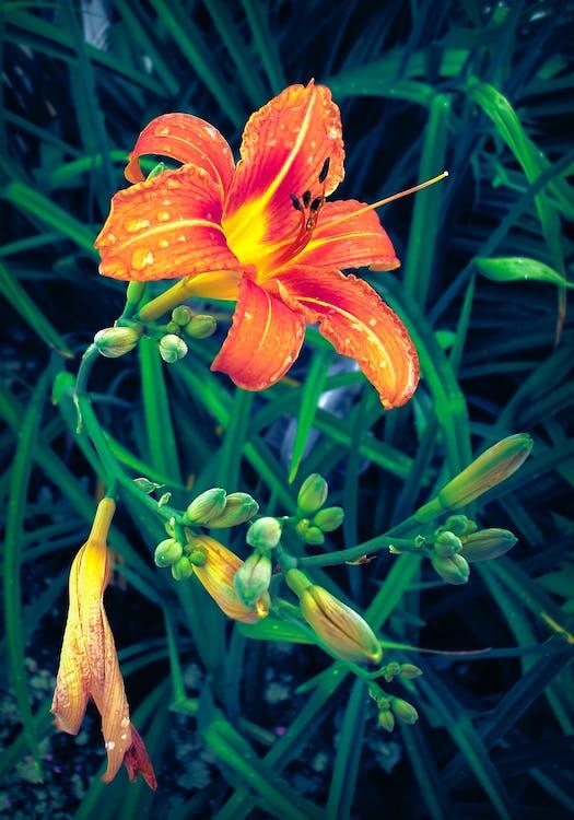 Darmowe zdjęcie z galerii z kwiat, lilia, listowie
