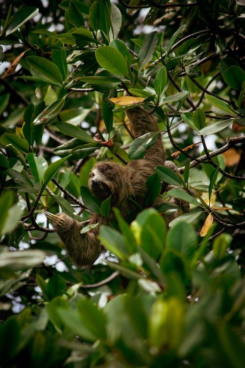 Ilmainen kuvapankkikuva tunnisteilla apina, bocas, eläin