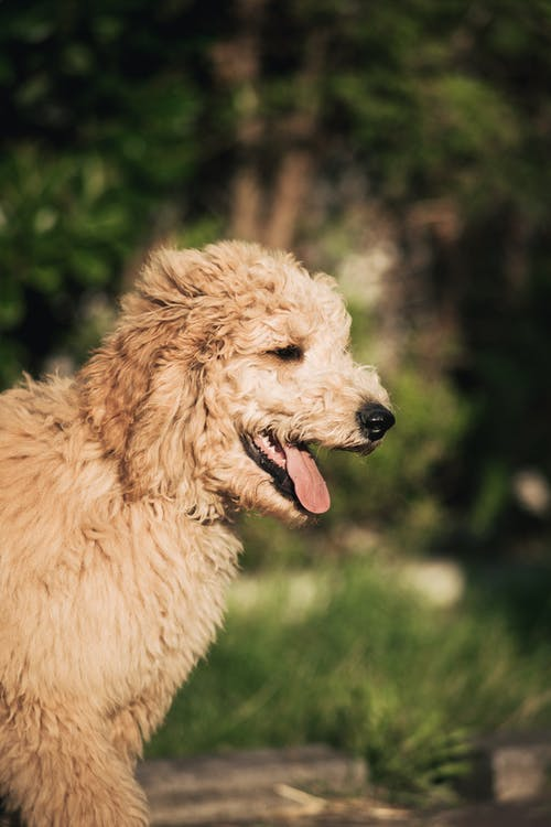 Brown Long Coat Medium Dog