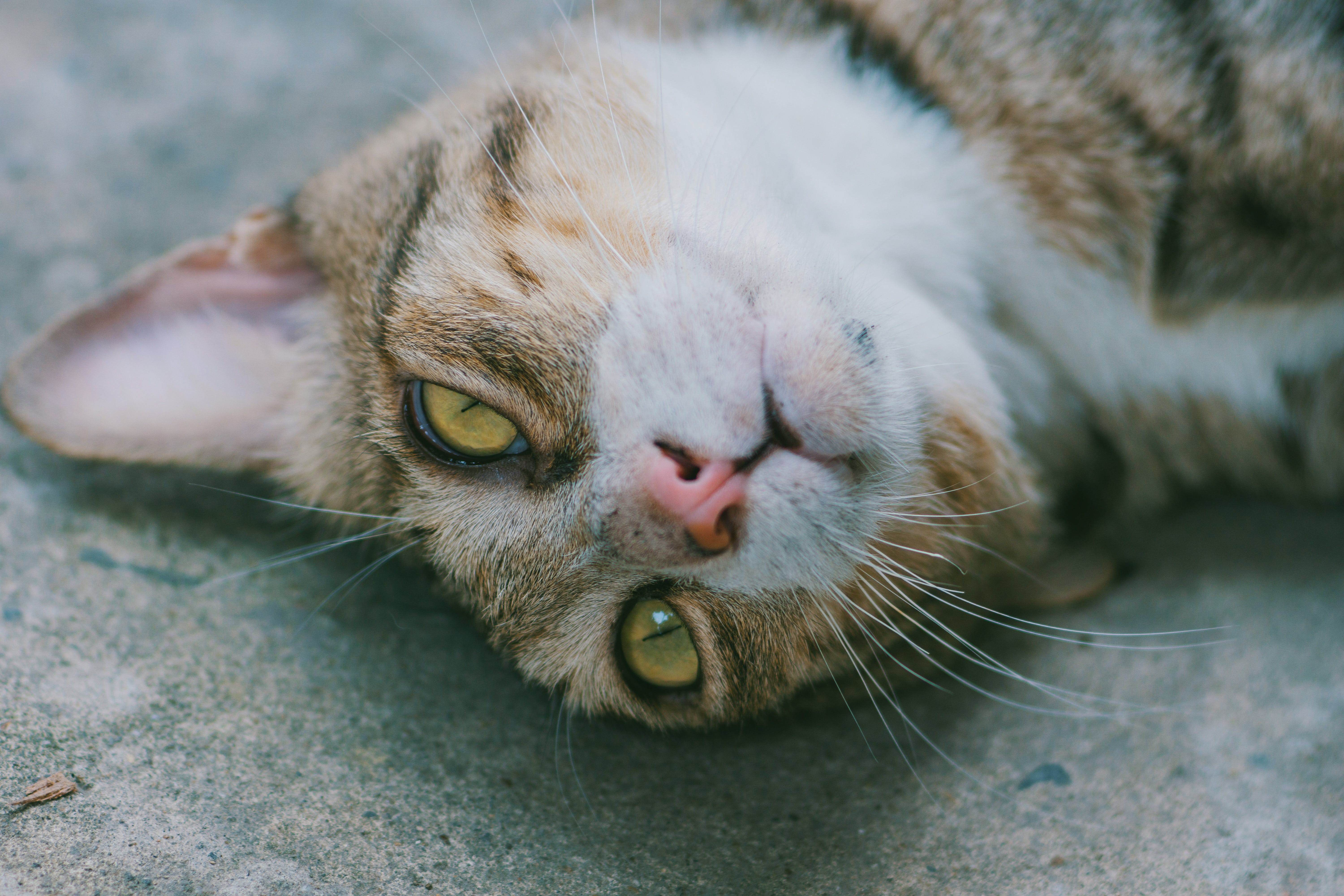 Close-up of brown Cat Lying on Grey Pavement