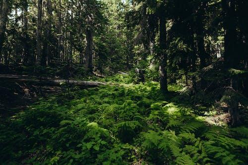 Free stock photo of conifer, cypress, dawn