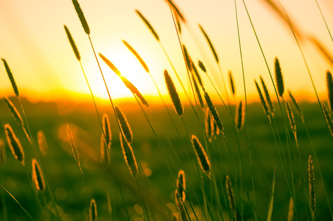 Wheat Grains during Sunset